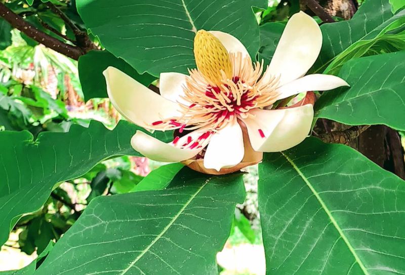 магнолия в ботаническом саду Батуми